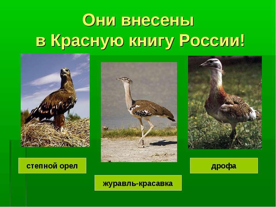 Они внесены в Красную книгу России! журавль-красавка дрофа степной орел