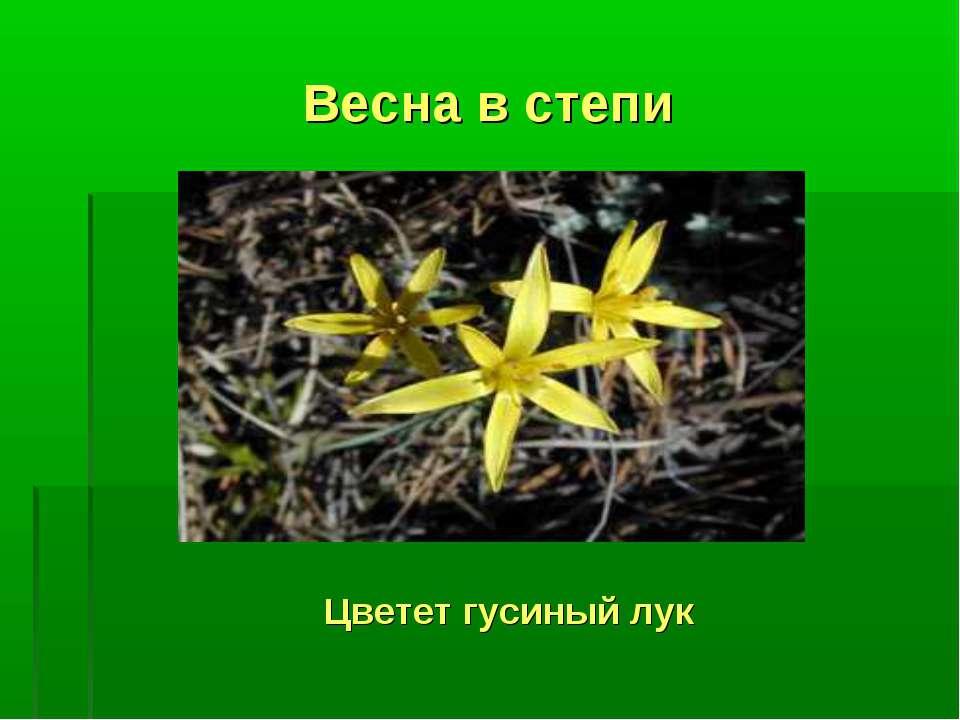 Весна в степи Цветет гусиный лук