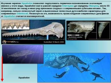 Изучение черепов Squalodon позволяет педположить первичное возникновение эхол...