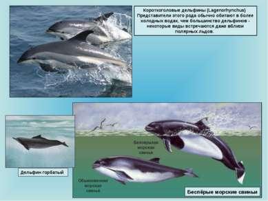 Короткоголовые дельфины (Lagenorhynchus) Представители этого рода обычно обит...