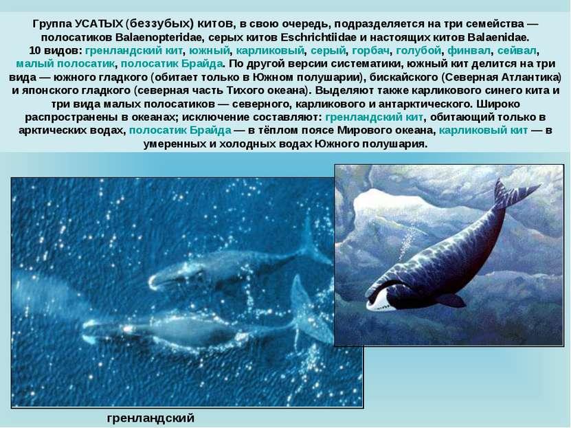 Группа УСАТЫХ (беззубых) китов, в свою очередь, подразделяется на три семейст...