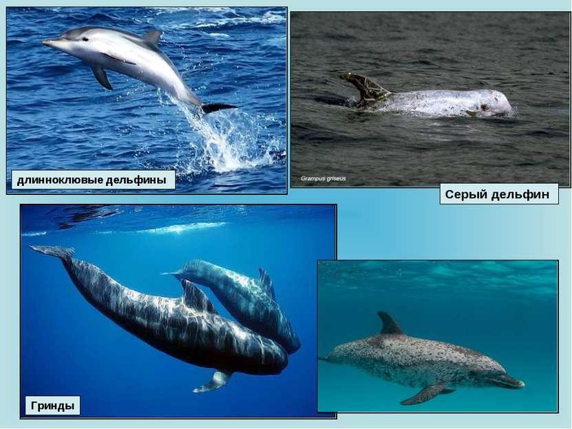 Гринды Серый дельфин длинноклювые дельфины