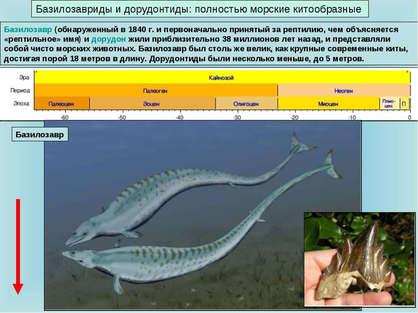 Базилозавриды и дорудонтиды: полностью морские китообразные Базилозавр (обнар...