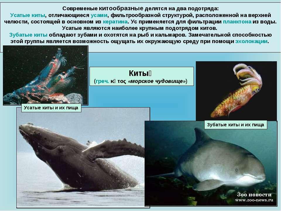 Современые китообразные делятся на два подотряда: Усатые киты, отличающиеся у...