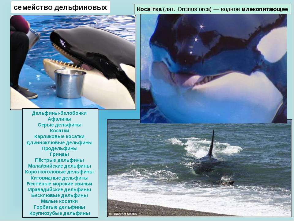 Коса тка (лат. Orcinus orca) — водное млекопитающее семейство дельфиновых Дел...