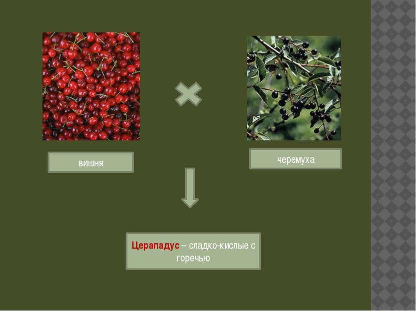 вишня черемуха Церападус – сладко-кислые с горечью