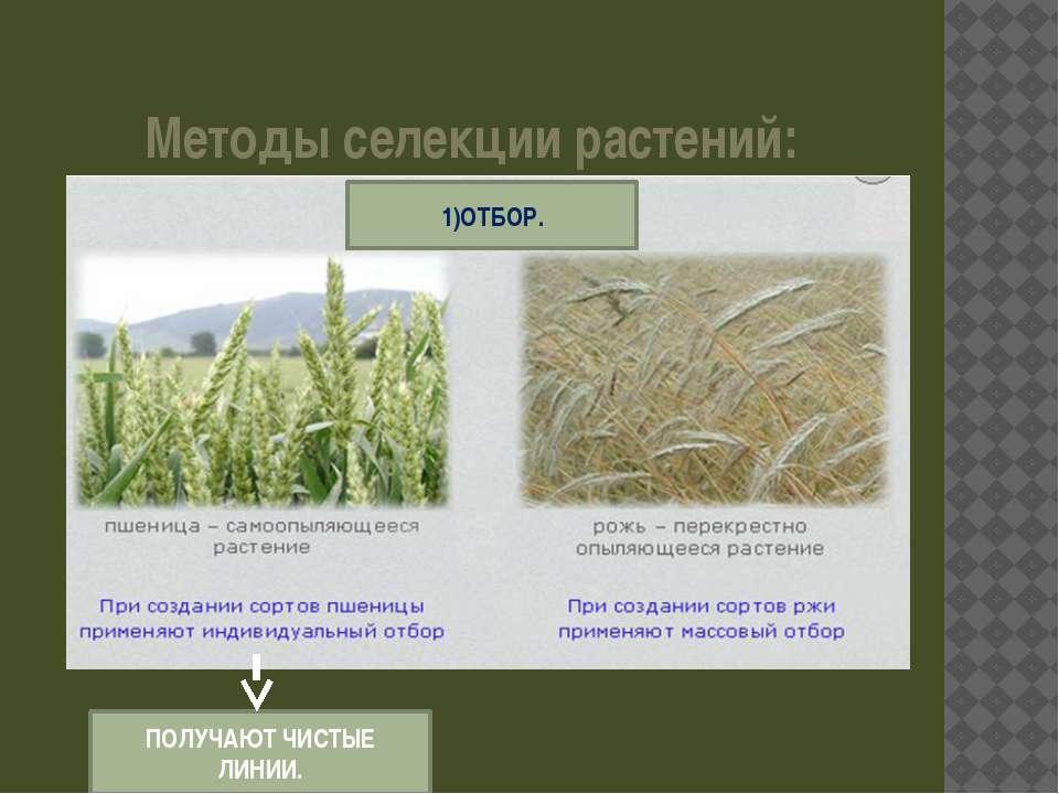 Методы селекции растений: 1)ОТБОР. ПОЛУЧАЮТ ЧИСТЫЕ ЛИНИИ.