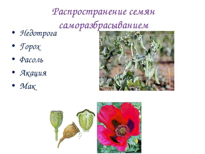Распространение семян саморазбрасыванием Недотрога Горох Фасоль Акация Мак