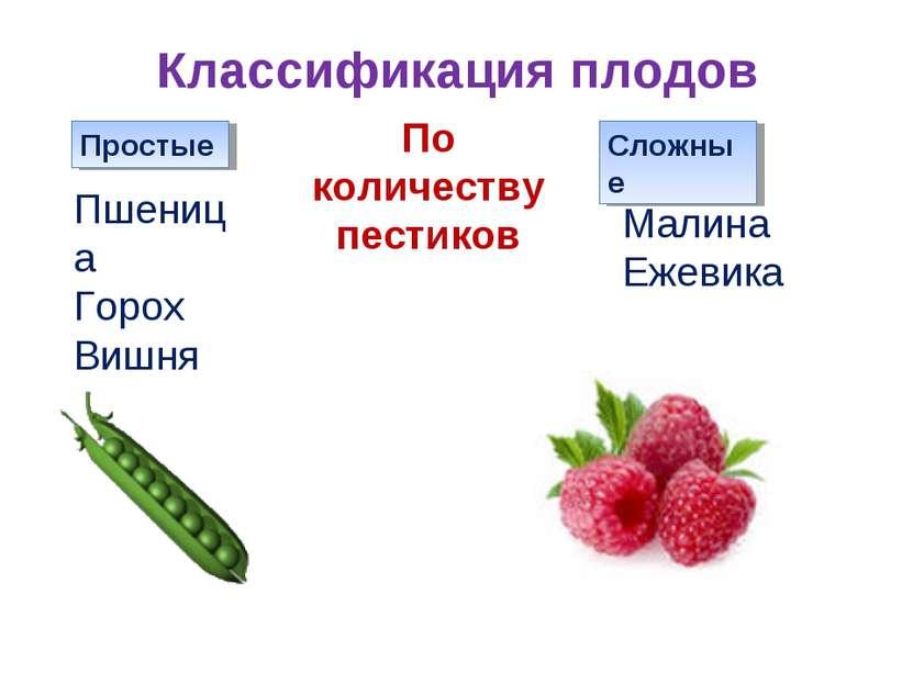 Классификация плодов Простые Сложные Пшеница Горох Вишня Малина Ежевика По ко...