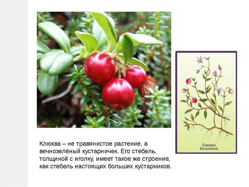 Клюква – не травянистое растение, а вечнозелёный кустарничек. Его стебель, то...