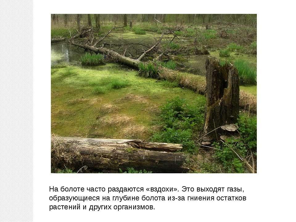 На болоте часто раздаются «вздохи». Это выходят газы, образующиеся на глубине...