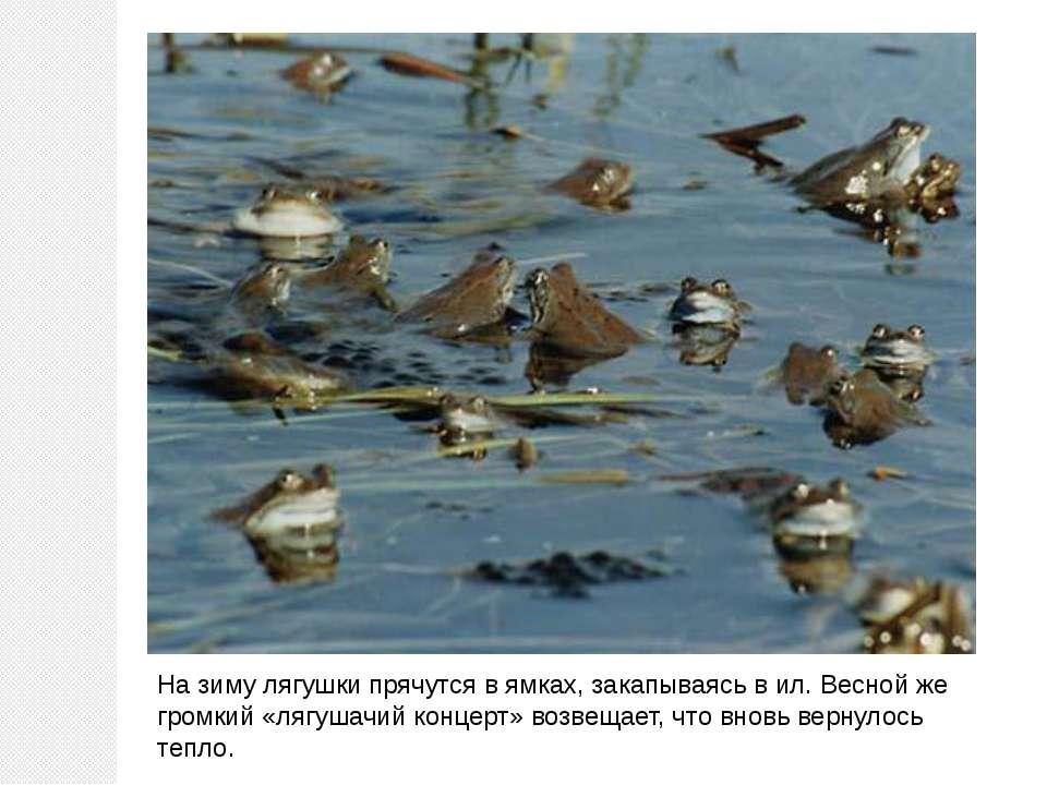 На зиму лягушки прячутся в ямках, закапываясь в ил. Весной же громкий «лягуша...