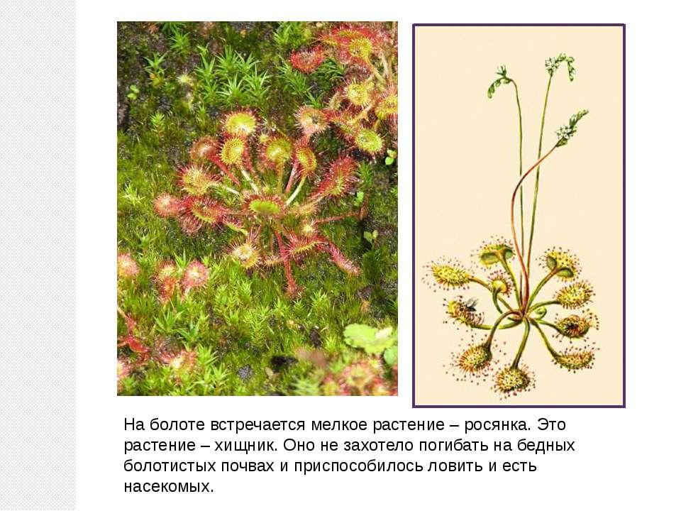 На болоте встречается мелкое растение – росянка. Это растение – хищник. Оно н...