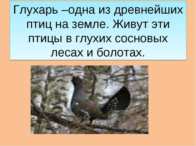 Глухарь –одна из древнейших птиц на земле. Живут эти птицы в глухих сосновых ...