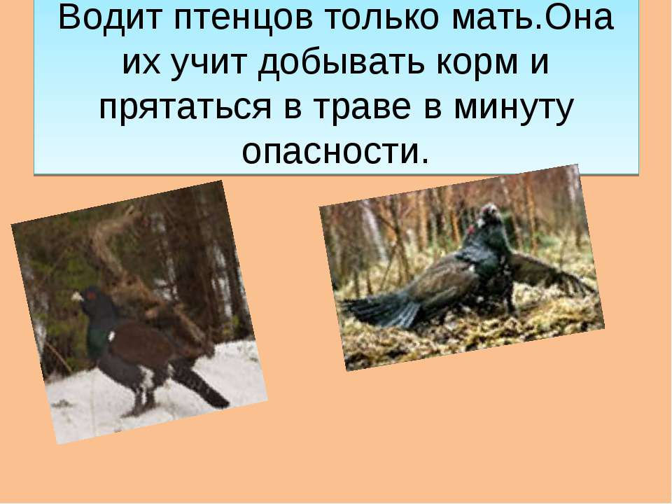 Водит птенцов только мать.Она их учит добывать корм и прятаться в траве в мин...