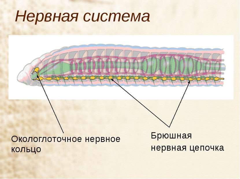 Нервная система Окологлоточное нервное кольцо Брюшная нервная цепочка