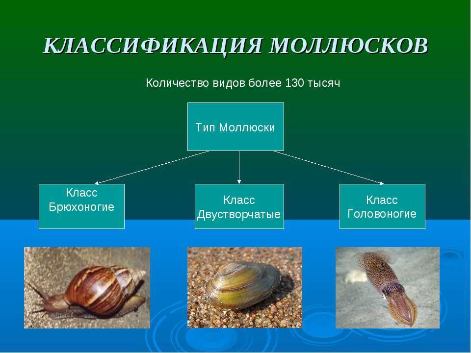 КЛАССИФИКАЦИЯ МОЛЛЮСКОВ Количество видов более 130 тысяч Тип Моллюски Класс Б...