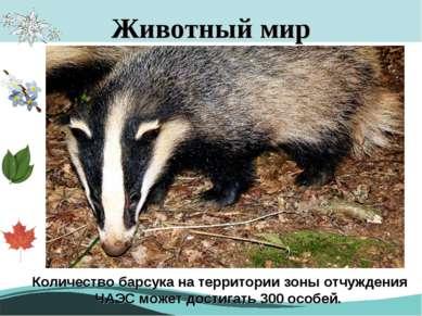 Животный мир Европейский барсук Количество барсука на территории зоны отчужде...