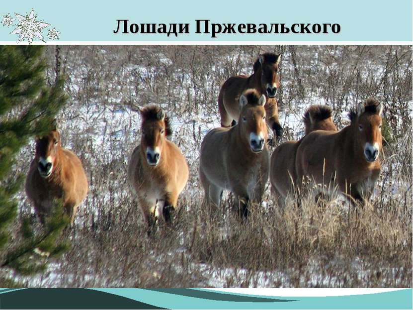 Лошади Пржевальского В мае 1998 года из заповедника «Аскания-Нова» было завез...