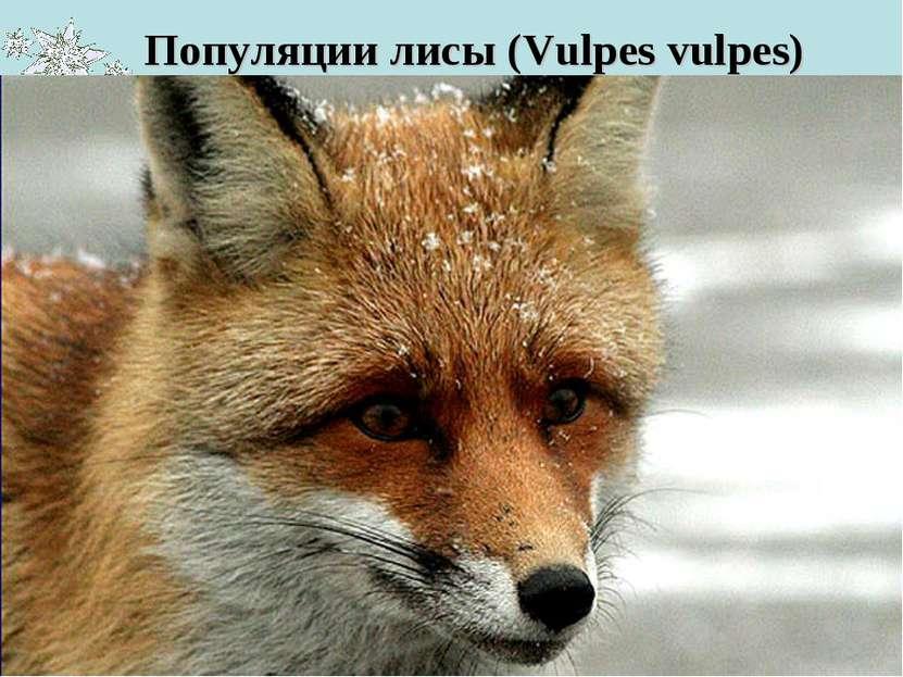 Популяции лисы (Vulpes vulpes) Численность этого животного составляет около 6...