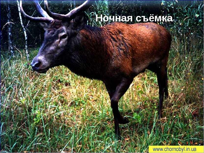 Популяция оленя (Cervus elaphus) в зоне отчуждения На сегодня благородного ол...