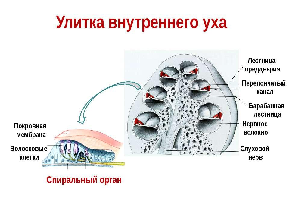 Слуховой нерв Нервное волокно Покровная мембрана Волосковые клетки Спиральный...