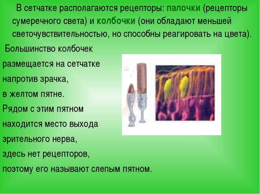 В сетчатке располагаются рецепторы: палочки (рецепторы сумеречного света) и к...