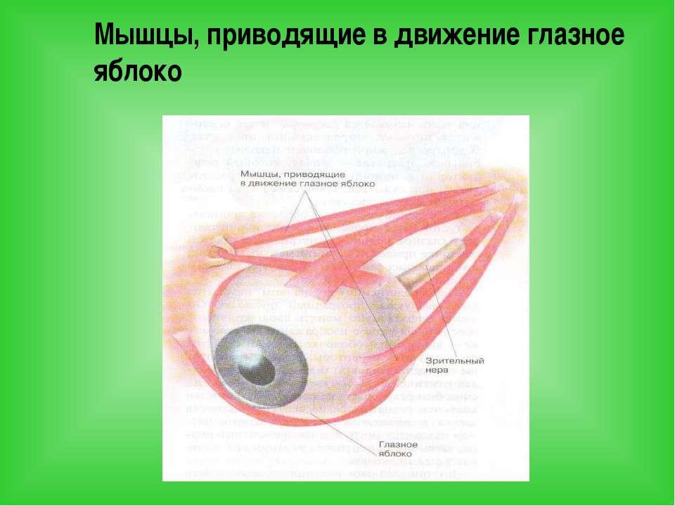 Мышцы, приводящие в движение глазное яблоко