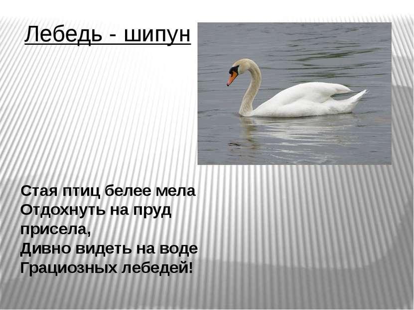 Лебедь - шипун Стая птиц белее мела Отдохнуть на пруд присела, Дивно видеть н...