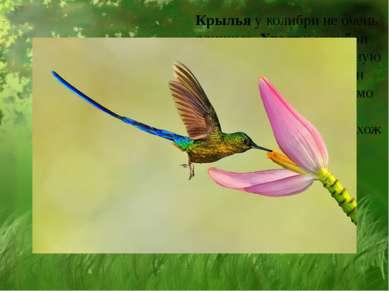 Крылья у колибри не очень длинные. Хвост у колибри имеет самую разнообразную ...