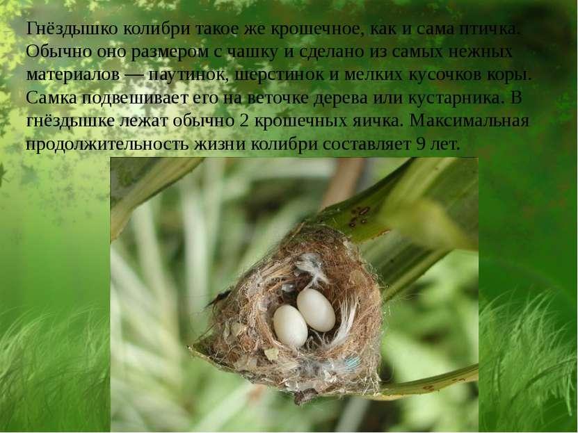Гнёздышко колибри такое же крошечное, как и сама птичка. Обычно оно размером ...