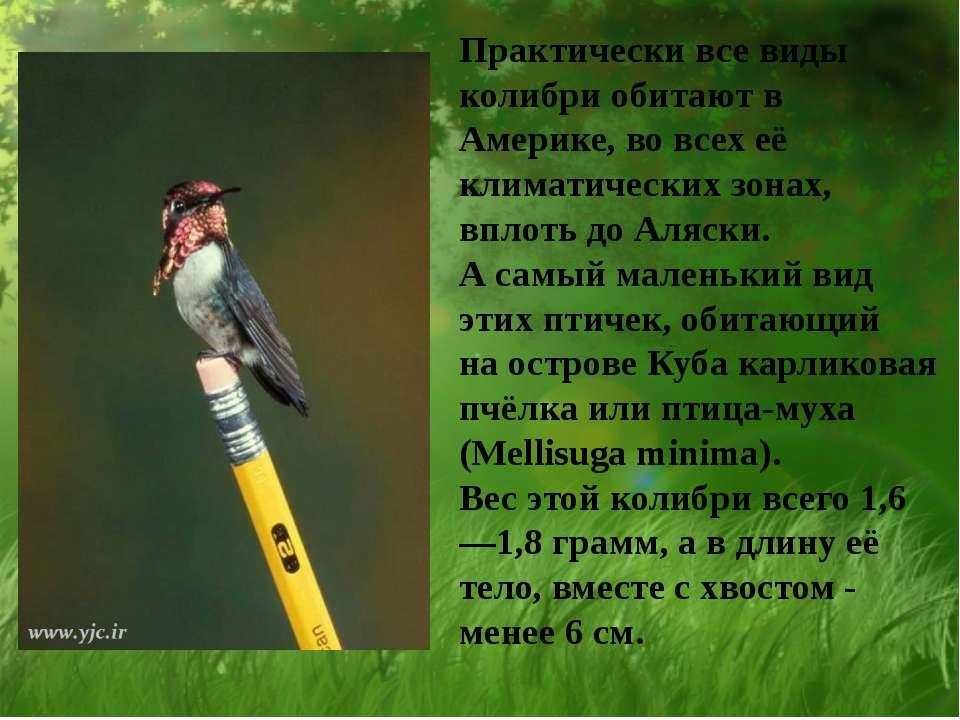Практически все виды колибри обитают в Америке, во всех её климатических зона...