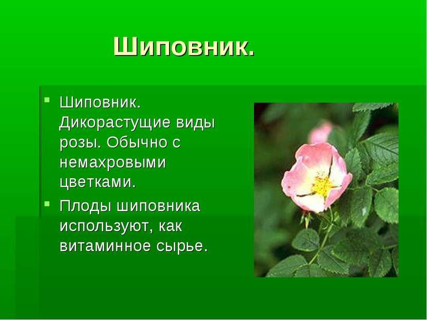 Шиповник. Шиповник. Дикорастущие виды розы. Обычно с немахровыми цветками. Пл...