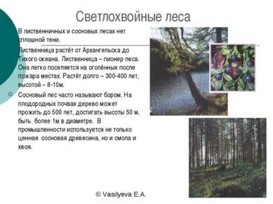 Светлохвойные леса В лиственничных и сосновых лесах нет сплошной тени. Листве...