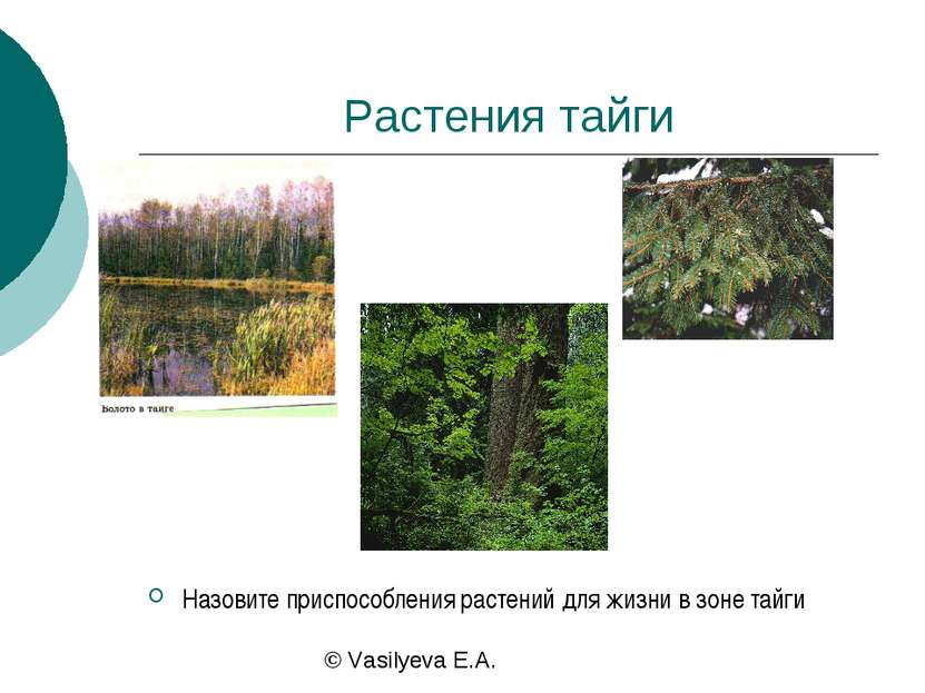 Растения тайги Назовите приспособления растений для жизни в зоне тайги © Vasi...