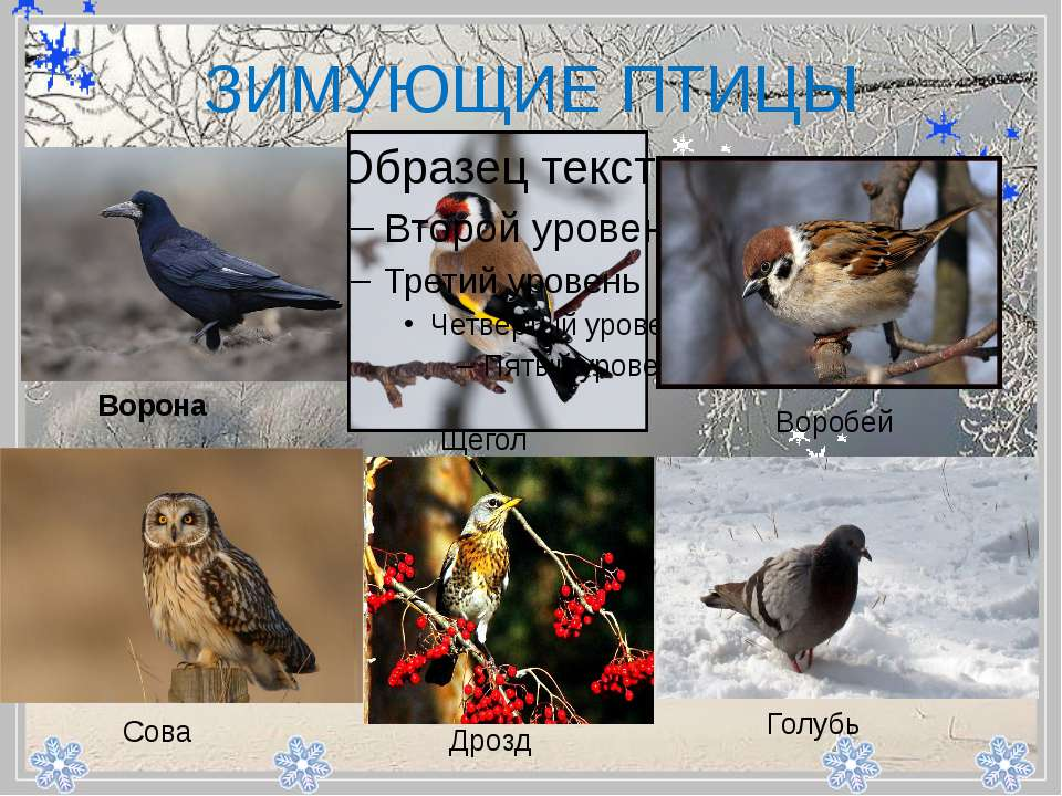 - ЗИМУЮЩИЕ ПТИЦЫ Ворона Щегол Воробей Сова Дрозд Голубь
