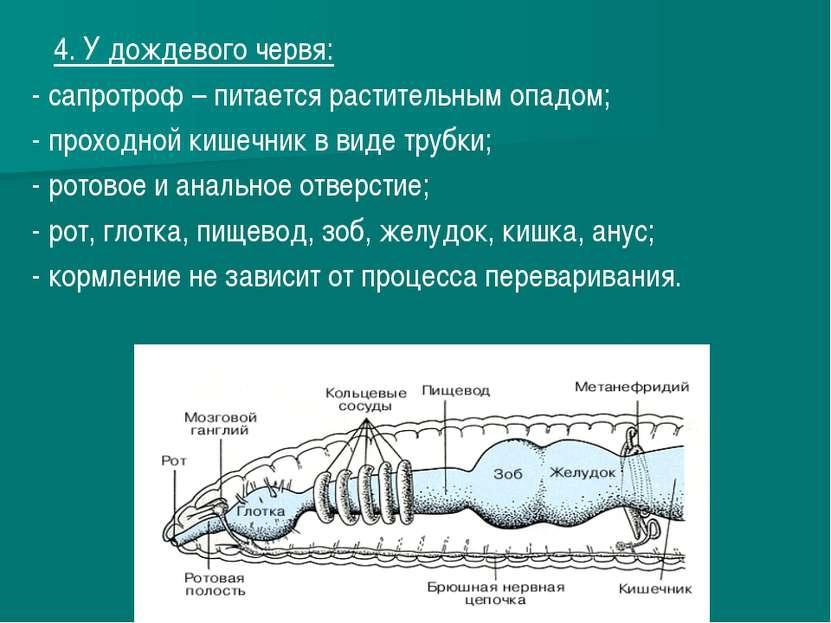 4. У дождевого червя: - сапротроф – питается растительным опадом; - проходной...