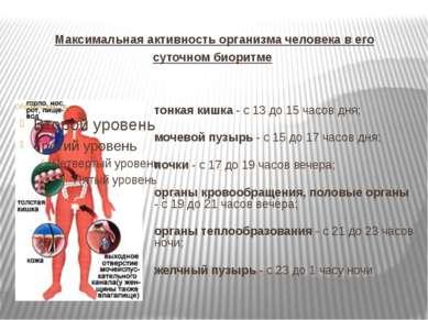 Максимальная активность организма человека в его суточном биоритме тонкая киш...