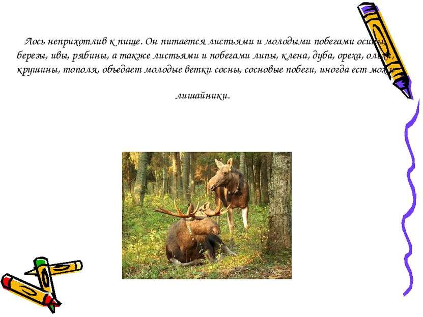 Лось неприхотлив к пище. Он питается листьями и молодыми побегами осины, бере...