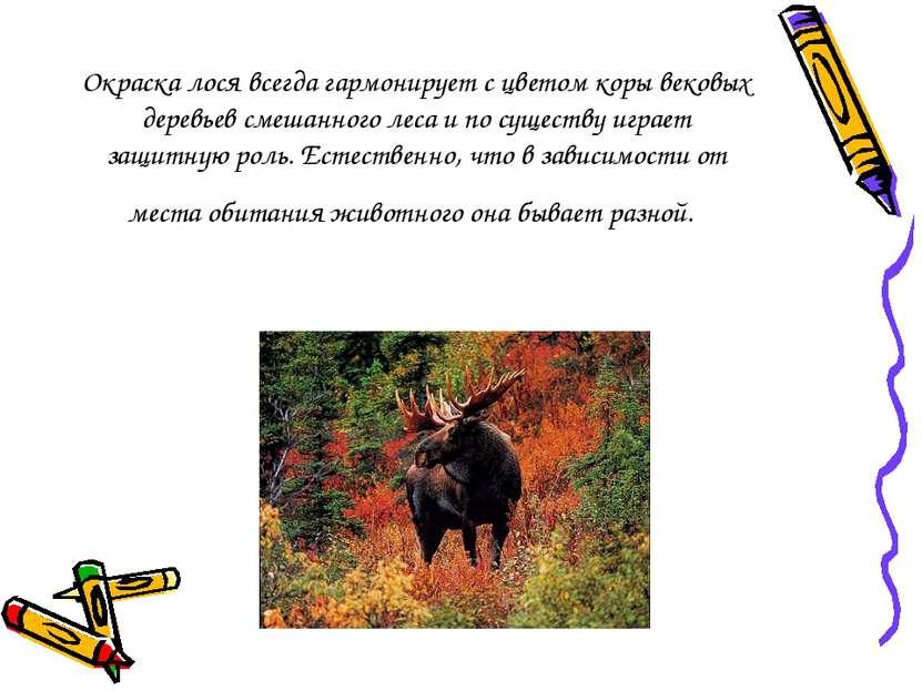 Окраска лося всегда гармонирует с цветом коры вековых деревьев смешанного лес...