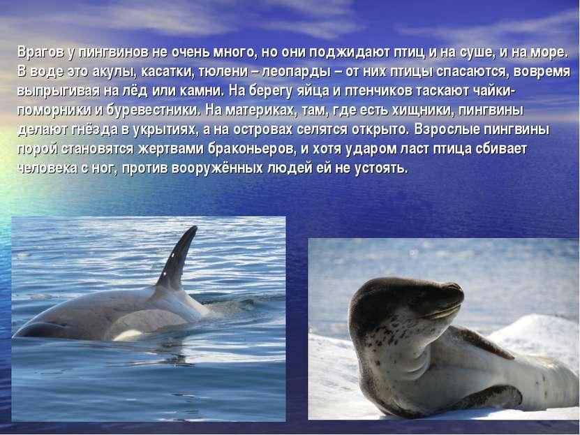 Врагов у пингвинов не очень много, но они поджидают птиц и на суше, и на море...