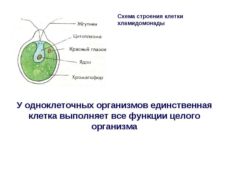 Схема строения клетки хламидомонады У одноклеточных организмов единственная к...