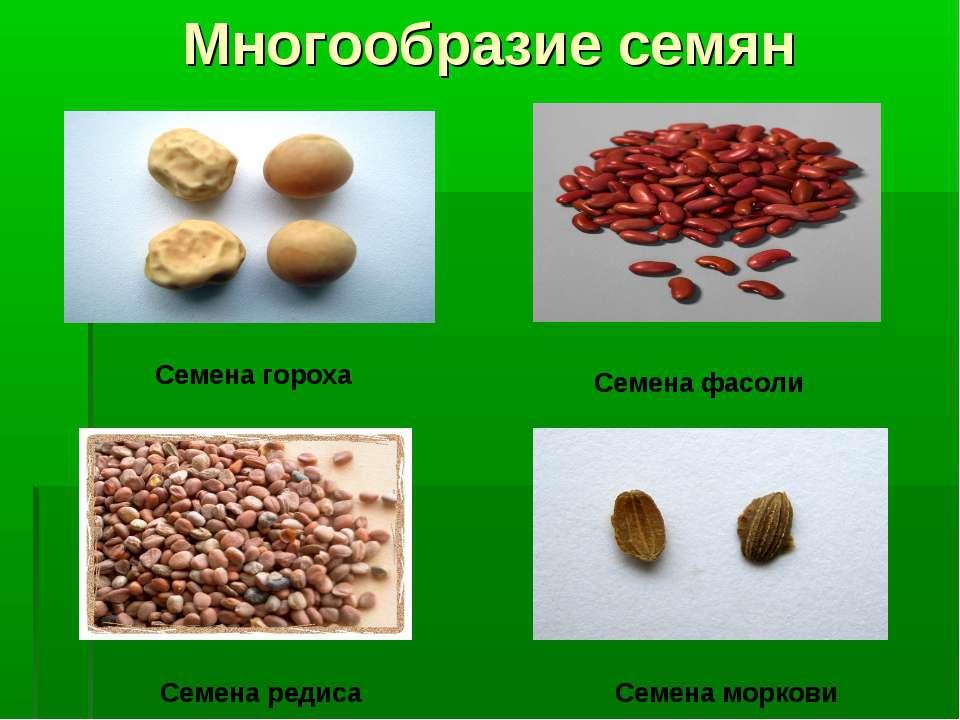 Многообразие семян Семена гороха Семена фасоли Семена редиса Семена моркови