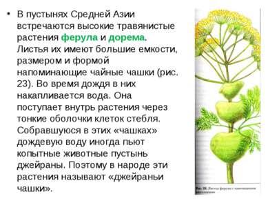 В пустынях Средней Азии встречаются высокие травянистые растения ферула и дор...