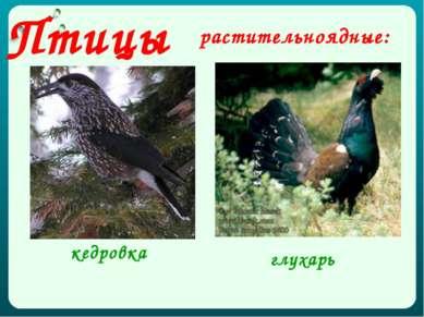 растительноядные: глухарь кедровка Птицы