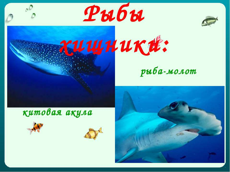 китовая акула рыба-молот Рыбы хищники: