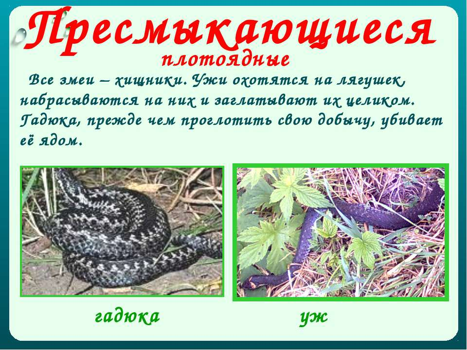 Пресмыкающиеся плотоядные Все змеи – хищники. Ужи охотятся на лягушек, набрас...