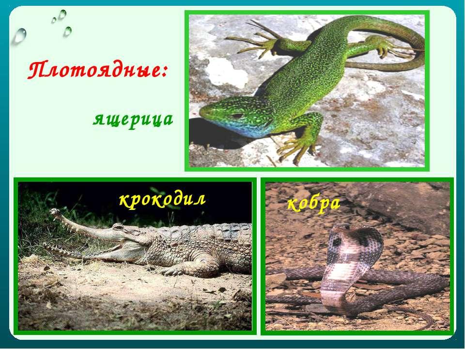 Плотоядные: ящерица крокодил кобра