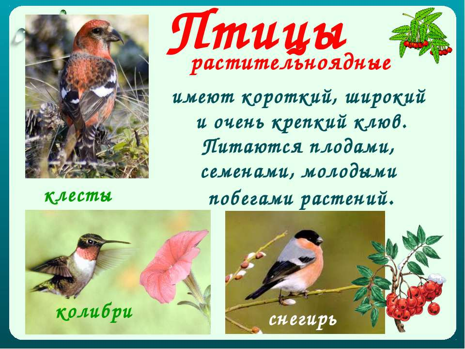 Птицы растительноядные имеют короткий, широкий и очень крепкий клюв. Питаются...