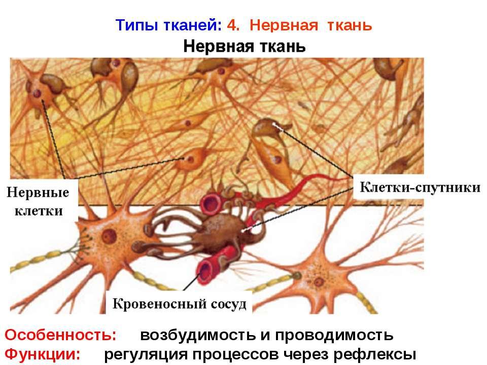 Типы тканей: 4. Нервная ткань Особенность: возбудимость и проводимость Функци...